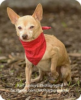 Chihuahua Dog for adoption in Redondo Beach, California - Mister Squeaks-ADOPT Me!