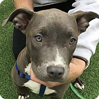 Adopt A Pet :: Blue Pearl - Sacramento, CA