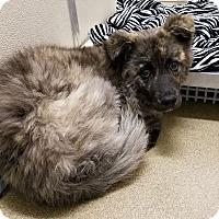 Adopt A Pet :: Forest - Pending - Hillside, IL