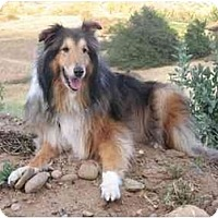 Adopt A Pet :: Laddie - Gardena, CA