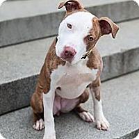 Adopt A Pet :: Daisy - Reisterstown, MD