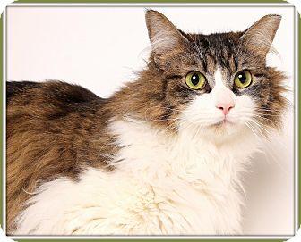 Domestic Longhair Cat for adoption in Glendale, Arizona - Koa