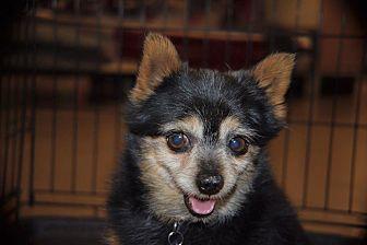 Pomeranian/Yorkie, Yorkshire Terrier Mix Dog for adoption in Rosamond, California - Rex