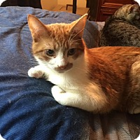 Domestic Shorthair Cat for adoption in Concord, North Carolina - Colby