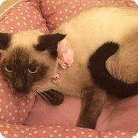 Adopt A Pet :: Simba - Metairie, LA