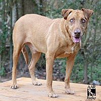 Labrador Retriever Mix Dog for adoption in Allston, Massachusetts - Rufus