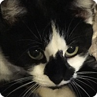 Domestic Shorthair Cat for adoption in Mooresville, North Carolina - A..  Scarlett