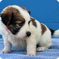 Adopt A Pet :: Gilly - Waldorf, MD