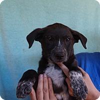 Adopt A Pet :: Tin - Oviedo, FL