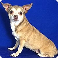 Adopt A Pet :: Angel - Show Low, AZ