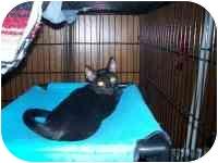 Domestic Shorthair Kitten for adoption in Grand Rapids, Michigan - Kung Fu