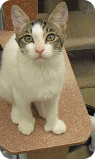 Domestic Shorthair Kitten for adoption in Wickenburg, Arizona - Cleo