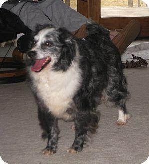 Australian Shepherd/Shih Tzu Mix Dog for adoption in Minneapolis, Minnesota - Oliver
