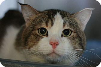Domestic Shorthair Cat for adoption in Canoga Park, California - Mario
