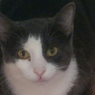Domestic Shorthair Cat for adoption in Denver, Colorado - Porky