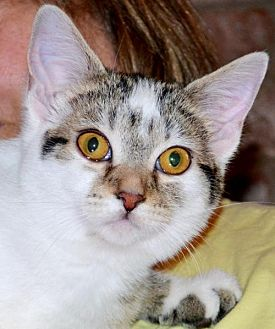 Domestic Shorthair Cat for adoption in Horn Lake, Mississippi - ZCL Sugar