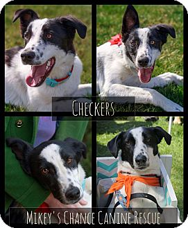 Border Collie/Labrador Retriever Mix Dog for adoption in West Richland, Washington - Checkers