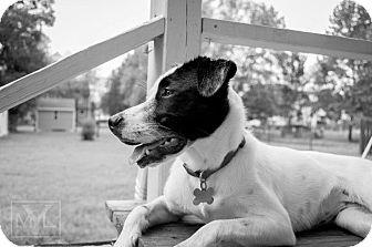 Labrador Retriever/Collie Mix Puppy for adoption in Elon, North Carolina - River-adoption pending