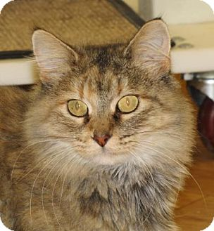 Domestic Mediumhair Cat for adoption in Woodstock, Illinois - Jackie