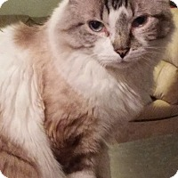 Domestic Mediumhair Cat for adoption in Mesa, Arizona - Jerry