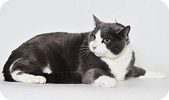Domestic Shorthair Cat for adoption in Fruit Heights, Utah - Mooshoe