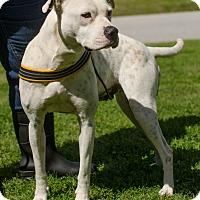 Adopt A Pet :: Ambrosia - Greenwood, SC