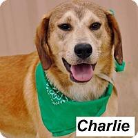 Adopt A Pet :: Charlie meet me 4/29 - Manchester, CT