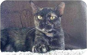 Domestic Shorthair Cat for adoption in Tomball, Texas - vanna