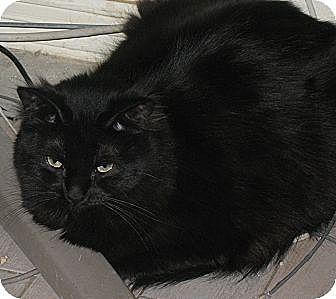 Domestic Shorthair Cat for adoption in Gilbert, Arizona - Laurant