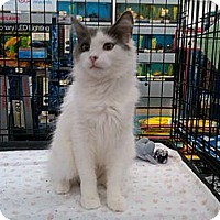 Adopt A Pet :: Lil Lady - Sterling Hgts, MI