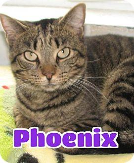 Domestic Shorthair Cat for adoption in Lawrenceburg, Kentucky - #3650F Phoenix - Sponsored