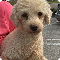 Adopt A Pet :: Charm - St. Petersburg, FL