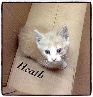 Domestic Shorthair Kitten for adoption in Dillon, South Carolina - Heath