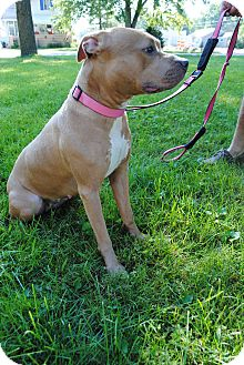 Pit Bull Terrier Dog for adoption in Bay City, Michigan - Peanut