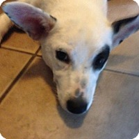 Border Collie/Australian Cattle Dog Mix Puppy for adoption in Garland, Texas - Buttercup