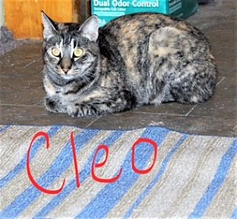 Domestic Shorthair Cat for adoption in Jesup, Georgia - Cleo