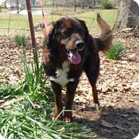 Adopt A Pet :: Bear - Bedminster, NJ