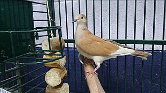 Dove for adoption in Elizabeth, Colorado - Tawny