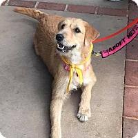 Adopt A Pet :: Astrea - Ft. Lauderdale, FL