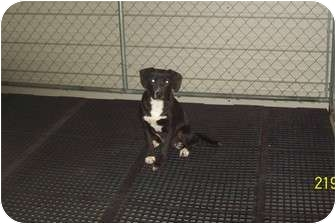 Labrador Retriever Mix Dog for adoption in Hohenwald, Tennessee - Irie