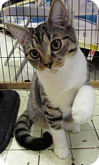 Domestic Shorthair Kitten for adoption in Seminole, Florida - Shelby