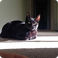 Adopt A Pet :: Puma - Rohnert Park, CA
