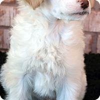 Adopt A Pet :: Peeta-Adoption pending - Bridgeton, MO