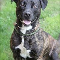 Plott Hound Mix Dog for adoption in Brookhaven, New York - Romeo