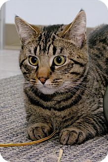 Domestic Shorthair Cat for adoption in Stamford, Connecticut - Whistle