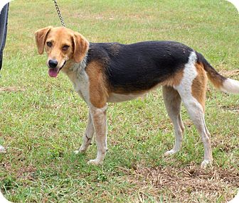 Treeing Walker Coonhound Mix Dog for adoption in Oakdale, Louisiana - Penny