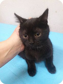 Domestic Mediumhair Kitten for adoption in Northfield, Ohio - Meg