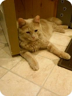 Domestic Shorthair Cat for adoption in Irwin, Pennsylvania - Bennet