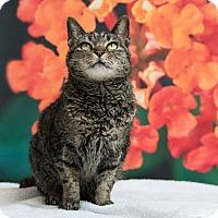 Domestic Shorthair Cat for adoption in Houston, Texas - Solana