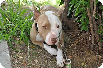 English Bulldog Mix Dog for adoption in Santa Monica, California - Piglet